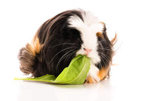 A lovely little Coronet Guinea Pig chewing on a leaf