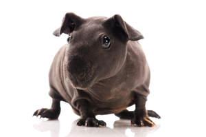 A lovely little hairless Skinny Guinea Pig