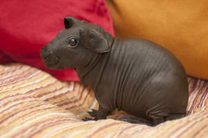 An incredible brown Skinny Guinea Pig with huge back feet