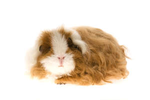 A beautiful little Texel Guinea Pig with long soft brown fur