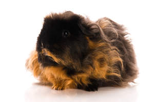 A wonderful little Texel Guinea Pig with long dark and red fur