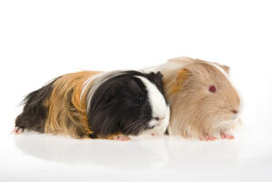 Two lovely little Silky Guinea Pigs lying together