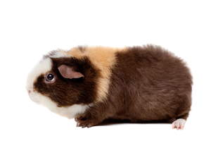 A lovely little Teddy Guinea Pig with folded over ears