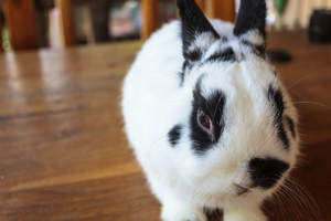 A Netherland Dwarf rabbit with beautiful white and black fur