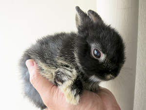 A wonderful little Netherland Dwarf rabbit with soft black fur