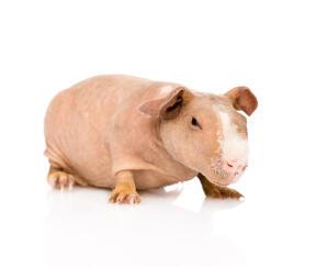 A beautiful little pink Skinny Guinea Pig