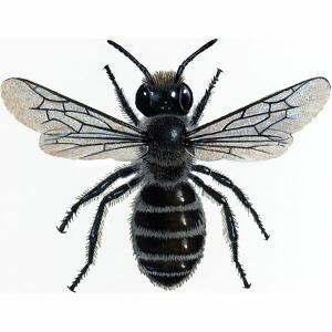 Blue Mason  - Osmia Caerulescens