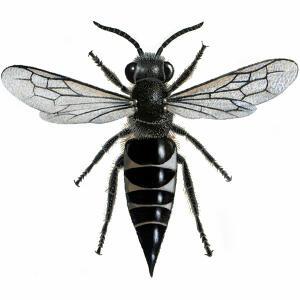 Sharp-tailed - Female - Coelioxys inermis