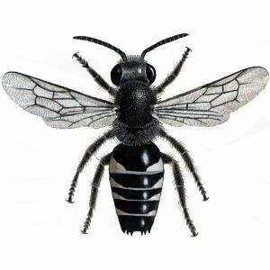 Sharp-tailed  - Male - Coelioxys inermis