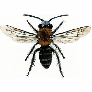 Tawny Mining - Male - Andrena fulva