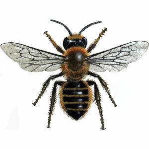 Willughby's Leafcutter - Megachile Willughbiella