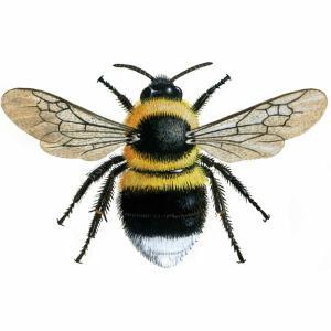 Bumblebee - Garden - Bombus hortorum