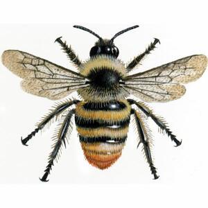 Bumblebee - Shrill carder - Bombus sylvarum