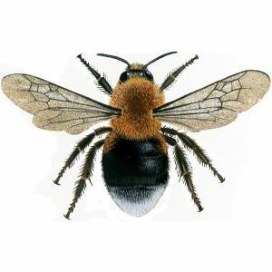 Bumblebee - Tree - Bombus hypnorum