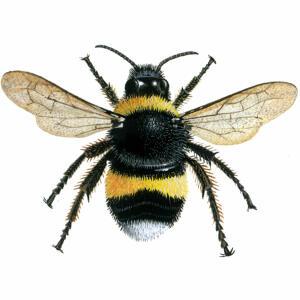 Bumblebee - White-tailed - Bombus lucornum