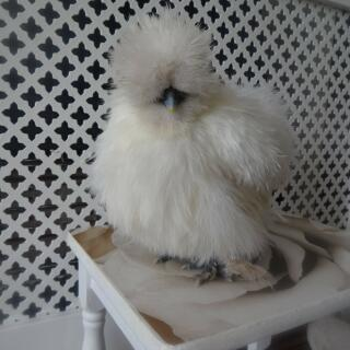my mini silkie