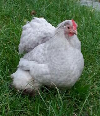 lavender cuckoo hen