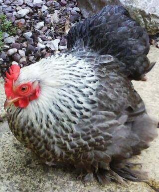 Silver Partridge Hen
