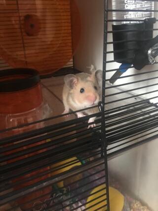 Captain Cookie Crisp enjoying his new solid floor!