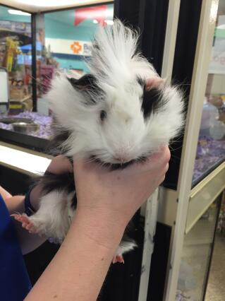 Getting my new Guinea pig