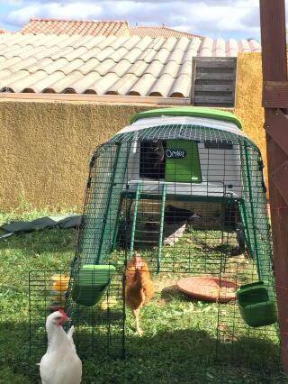 Chat vas bien pour les poules dans l'iglu