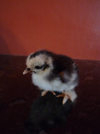my mottled pekin chick