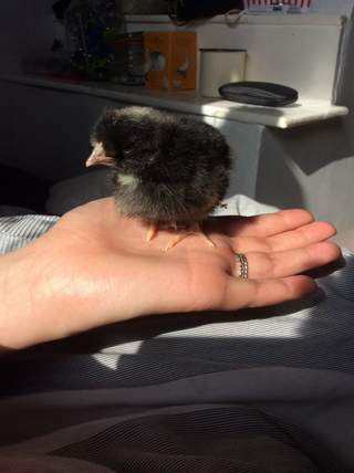 Our 2 day old speckledy chick.