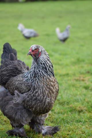My dark Brahma hen