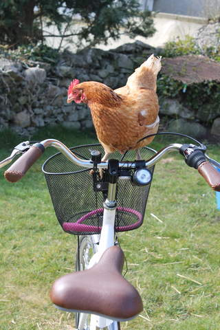 Chicken on 2 wheels