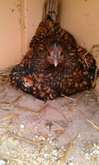 Golden sebright hen and chicks