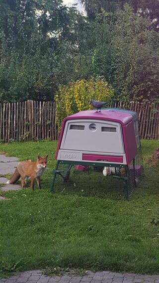 Fuchs und Huhn