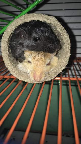 Gerbils love to cuddle
