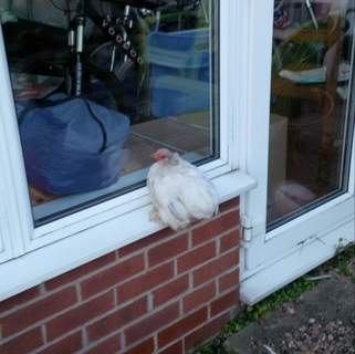 roosting on the windowsill