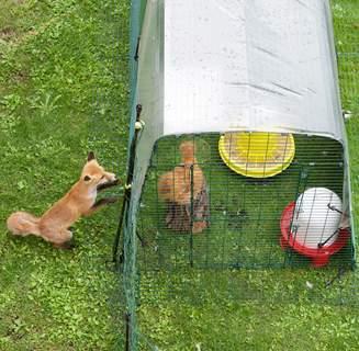 Junger Fuchs bewundert vergeblich ein hübsches Seidenhuhn.