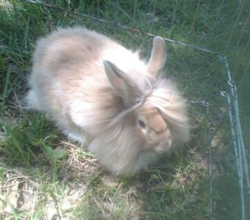 lovely buff color Lionhead buck