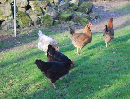 Hens pecking