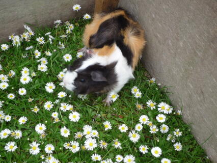 milly the guinea pig