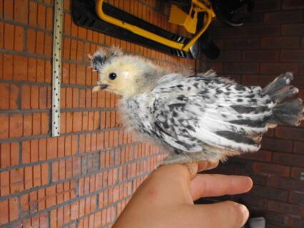 Appenzeller Spitzhauben chick bf