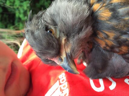 Barry the Araucana chick