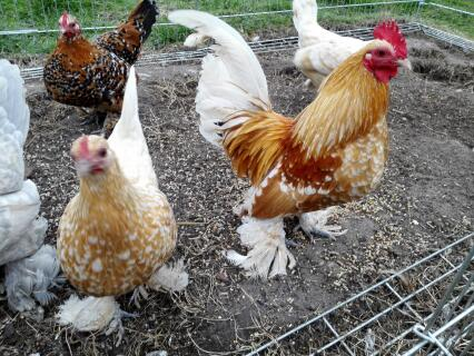 Mottled buff booted bantams