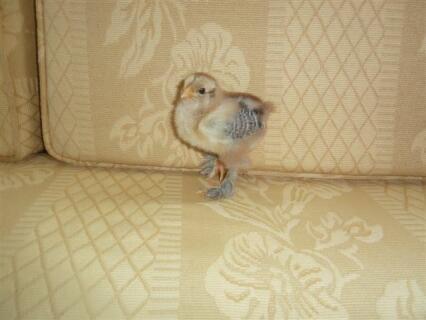 gold brahma chick