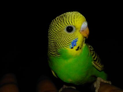 Budgie baby 1 month old