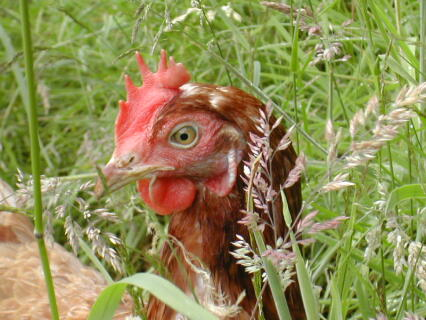 A hens life at last
