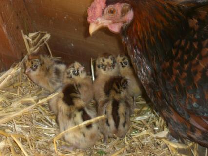 Friesian Chicks & Mum