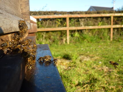 Gathering at the front of the hive