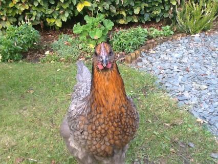 Clarice, my copper blue maran hen!