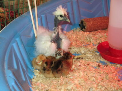 White Showgirl Silkie 5 weeks old