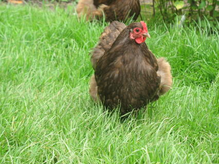 chocolate orpington bantam