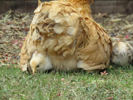 chicks and mum