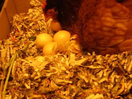 KFC hatching eggs again